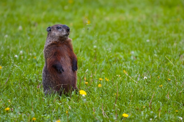 Groundhog standing in grass